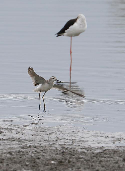 沼では、コアオアシシギにも出会いました。_f0368272_19272503.jpg