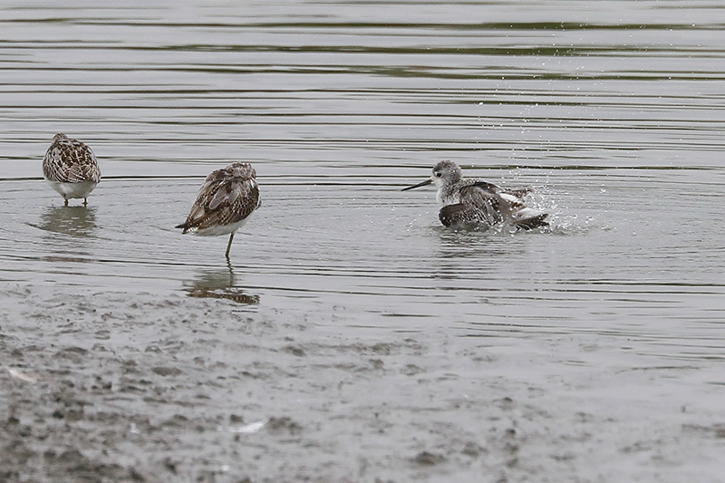 沼では、コアオアシシギにも出会いました。_f0368272_19374380.jpg