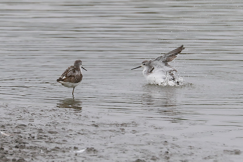 沼では、コアオアシシギにも出会いました。_f0368272_19390769.jpg