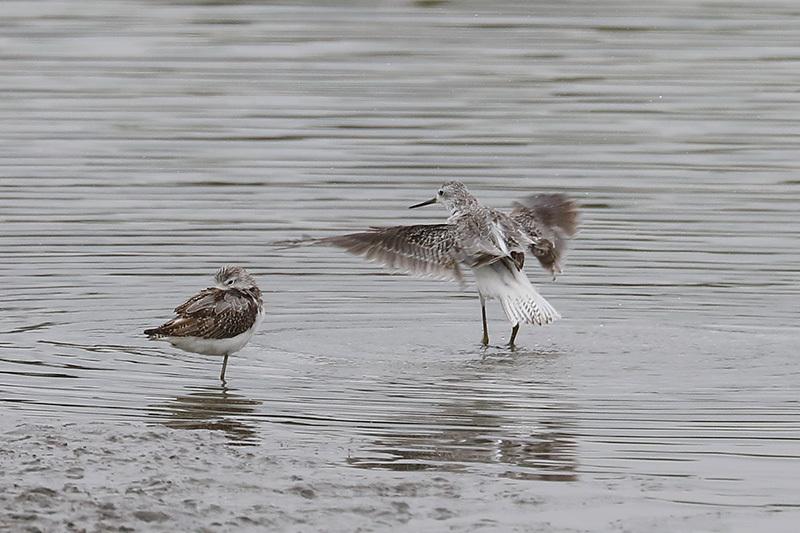 沼では、コアオアシシギにも出会いました。_f0368272_19401533.jpg