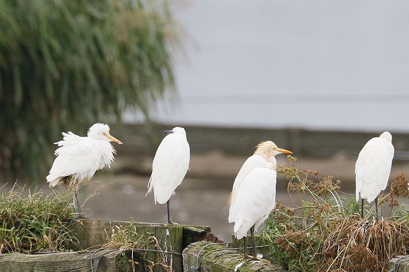 沼では、コアオアシシギにも出会いました。_f0368272_19452503.jpg