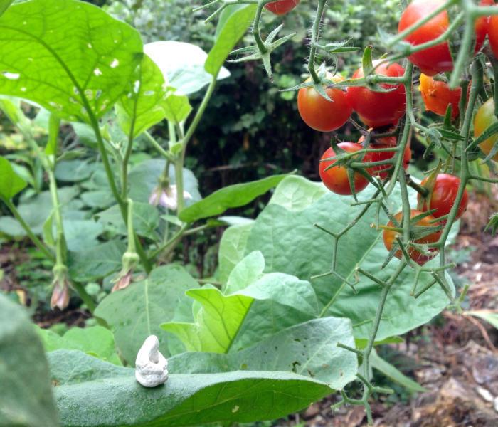 胡麻の収穫、彼岸花、トマト終わり…_b0087077_10324534.jpg