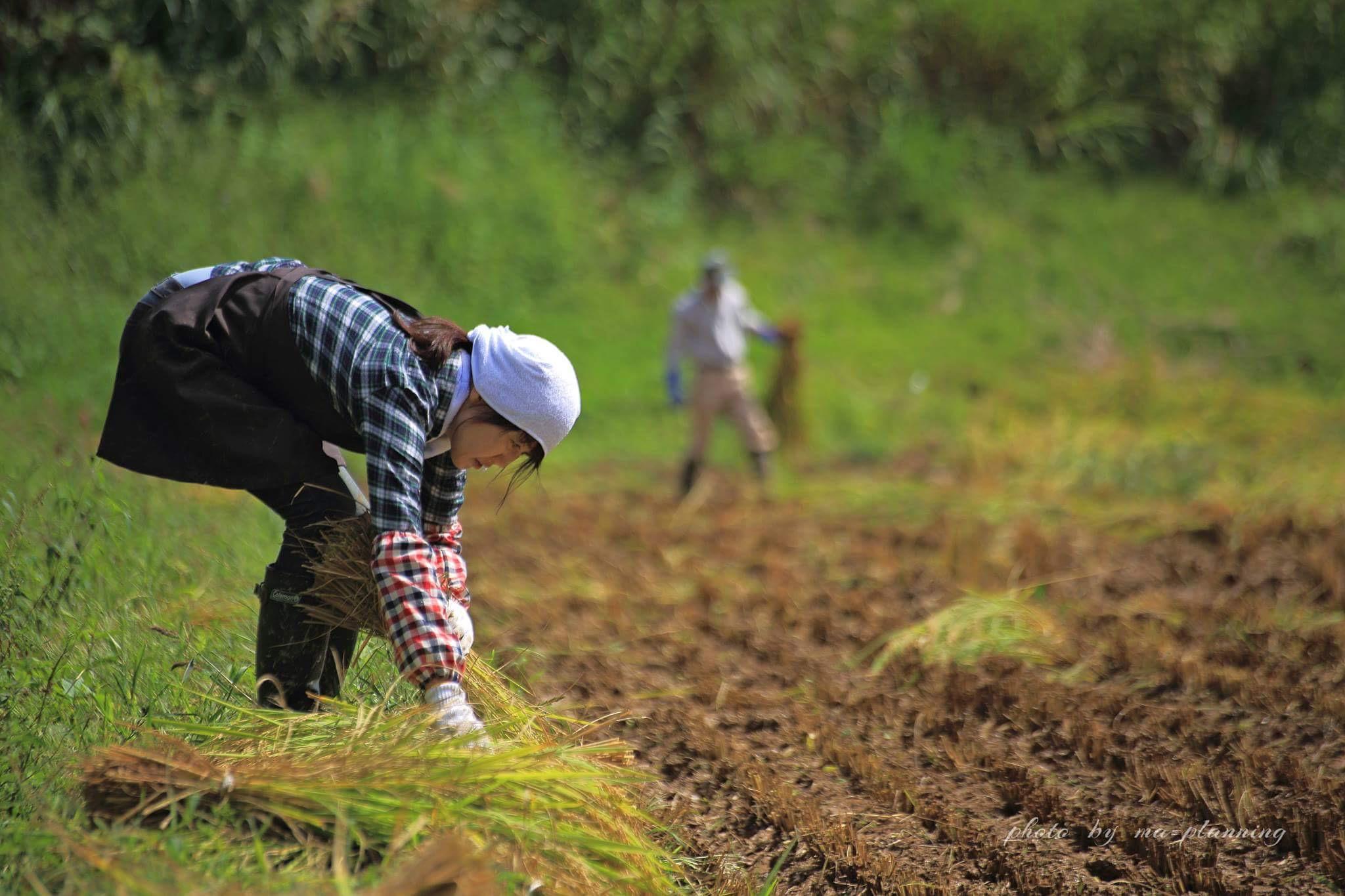 稲刈り、はさかけ体験_d0182179_18545394.jpg