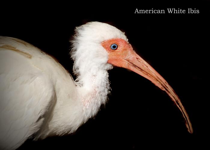 シロトキ:American White Ibis_b0249597_5143153.jpg