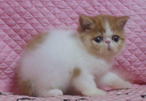 エキゾチックショートヘアー7月26日生まれ レッド女の子 のりちゃん子_e0033609_01522436.jpg