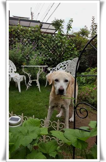 長寿犬ノエル_a0197911_23111498.jpg