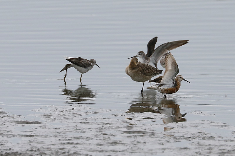 沼では、コアオアシシギにも出会いました。_f0368272_17473373.jpg