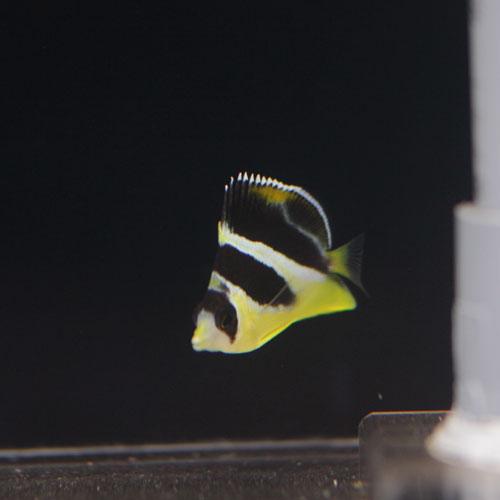 入荷情報~海水魚・サンゴ~_d0221436_2126135.jpg