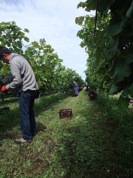 果樹園 と ぶどう と ワイン_c0307053_18080275.jpg