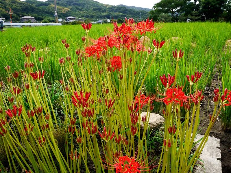 彼岸花咲く里山を行く_b0093754_0115823.jpg