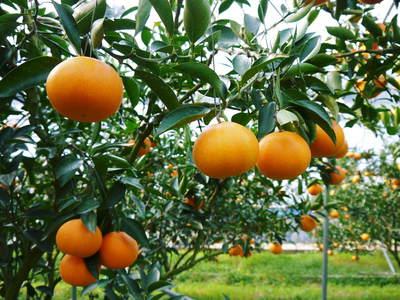 究極の柑橘「せとか」 樹勢も良く今年は収量アップの予感!匠の技で、美しく、大きく、美味しく育てます!_a0254656_18375224.jpg