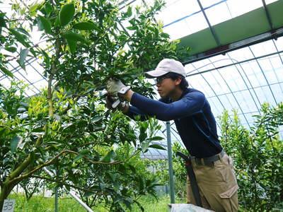 究極の柑橘「せとか」 樹勢も良く今年は収量アップの予感!匠の技で、美しく、大きく、美味しく育てます!_a0254656_18452747.jpg