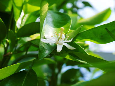 究極の柑橘「せとか」 樹勢も良く今年は収量アップの予感!匠の技で、美しく、大きく、美味しく育てます!_a0254656_18491919.jpg