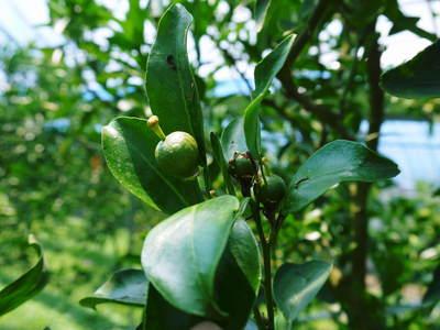 究極の柑橘「せとか」 樹勢も良く今年は収量アップの予感!匠の技で、美しく、大きく、美味しく育てます!_a0254656_1853468.jpg