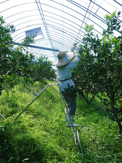 究極の柑橘「せとか」 樹勢も良く今年は収量アップの予感!匠の技で、美しく、大きく、美味しく育てます!_a0254656_1924374.jpg