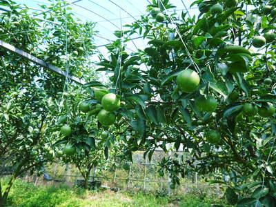 究極の柑橘「せとか」 樹勢も良く今年は収量アップの予感!匠の技で、美しく、大きく、美味しく育てます!_a0254656_19415359.jpg