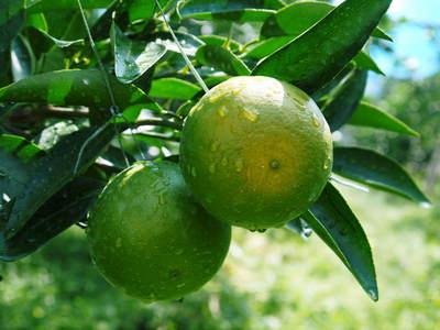 究極の柑橘「せとか」 樹勢も良く今年は収量アップの予感!匠の技で、美しく、大きく、美味しく育てます!_a0254656_19462331.jpg