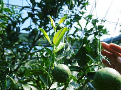 究極の柑橘「せとか」 樹勢も良く今年は収量アップの予感!匠の技で、美しく、大きく、美味しく育てます!_a0254656_19515347.jpg