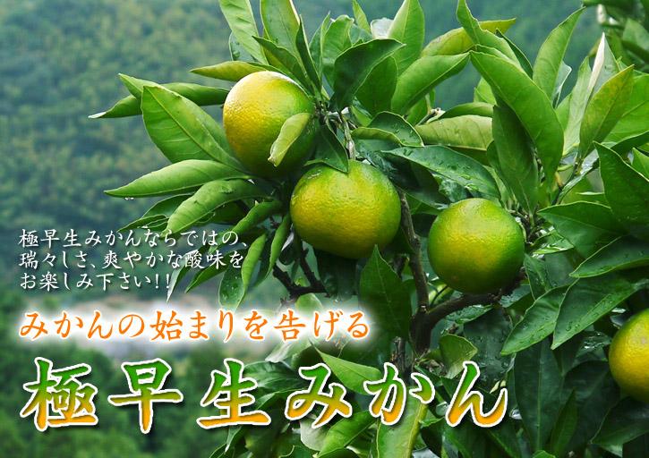 究極の柑橘「せとか」 樹勢も良く今年は収量アップの予感!匠の技で、美しく、大きく、美味しく育てます!_a0254656_20161088.jpg