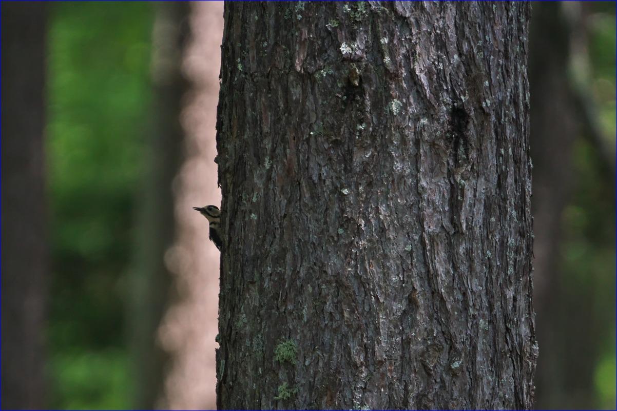 奥日光の野鳥たち・2016年8月編_d0137627_23595249.jpg