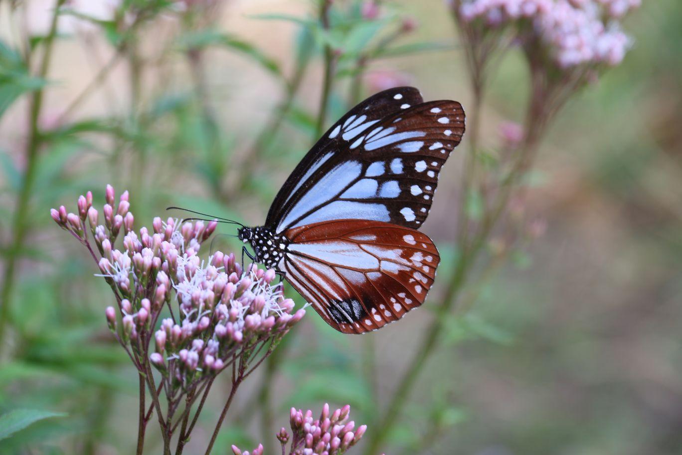 旅する蝶 アサギマダラ_e0150433_1862857.jpg