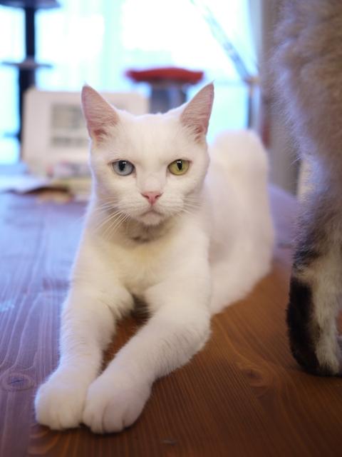 猫のお留守番 リュウちゃんちびくんさくらちゃんチャイくん編。_a0143140_21154771.jpg
