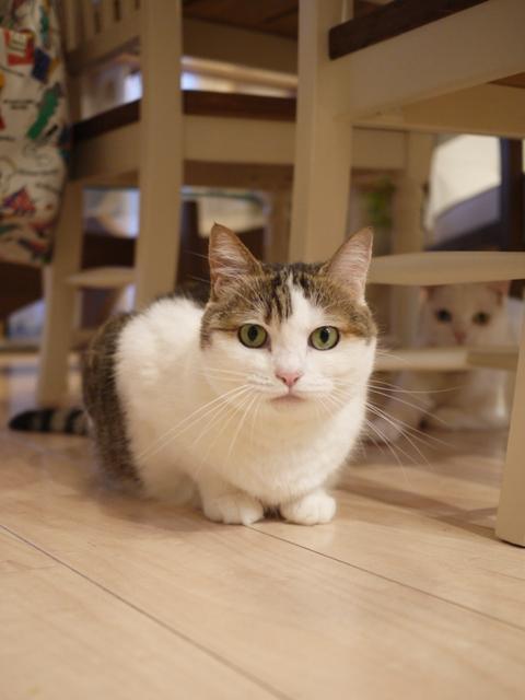 猫のお留守番 リュウちゃんちびくんさくらちゃんチャイくん編。_a0143140_21171649.jpg
