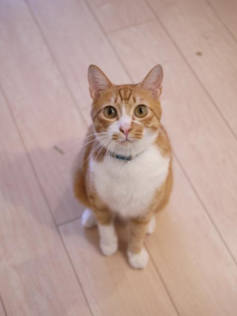 猫のお留守番 リュウちゃんちびくんさくらちゃんチャイくん編。_a0143140_21174399.jpg