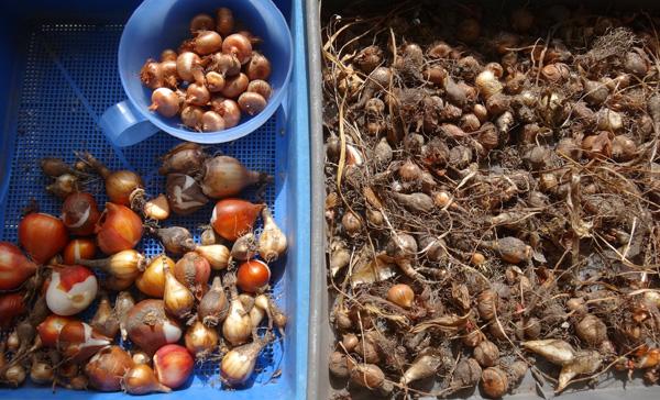 夏を越した秋植え小球根の選別と、金木犀の開花など♪_a0136293_17334630.jpg