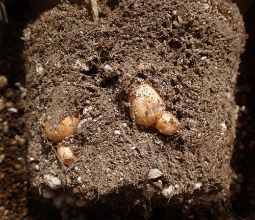 夏を越した秋植え小球根の選別と、金木犀の開花など♪_a0136293_17355874.jpg