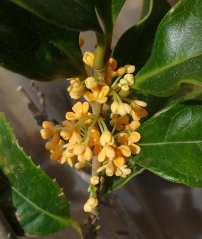 夏を越した秋植え小球根の選別と、金木犀の開花など♪_a0136293_17492127.jpg