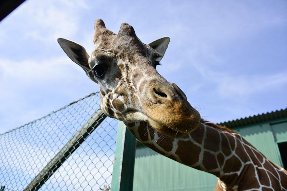 2016.9.25 岩手サファリパーク☆キリンのコウタとミナミ【Giraffe】_f0250322_21231835.jpg