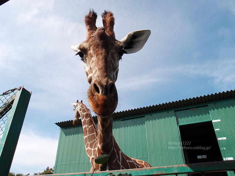 2016.9.25 岩手サファリパーク☆キリンのコウタとミナミ【Giraffe】_f0250322_21233619.jpg