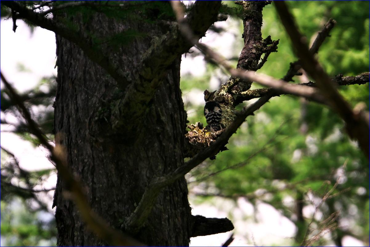 奥日光の野鳥たち・2016年8月編_d0137627_012685.jpg