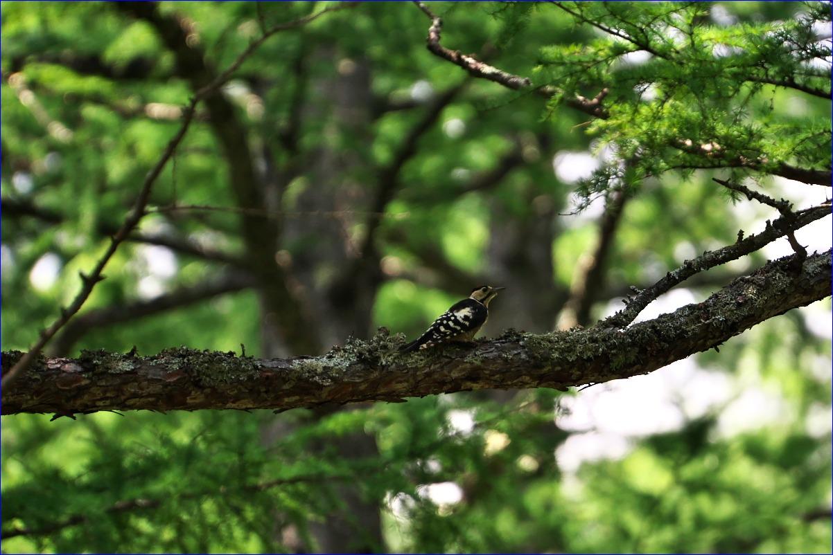 奥日光の野鳥たち・2016年8月編_d0137627_035350.jpg