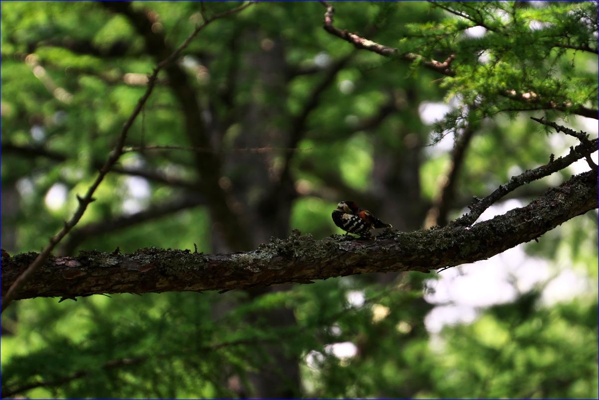 奥日光の野鳥たち・2016年8月編_d0137627_074252.jpg