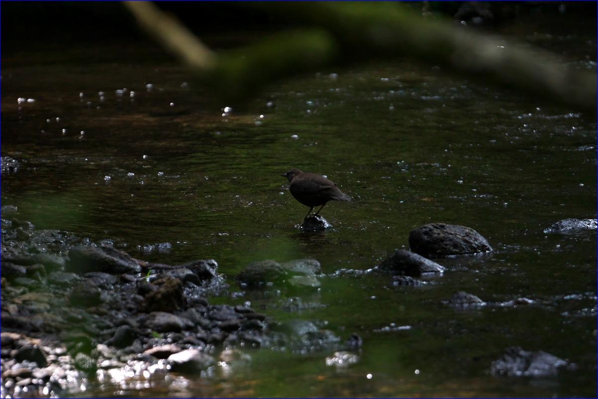 奥日光の野鳥たち・2016年8月編_d0137627_23225832.jpg