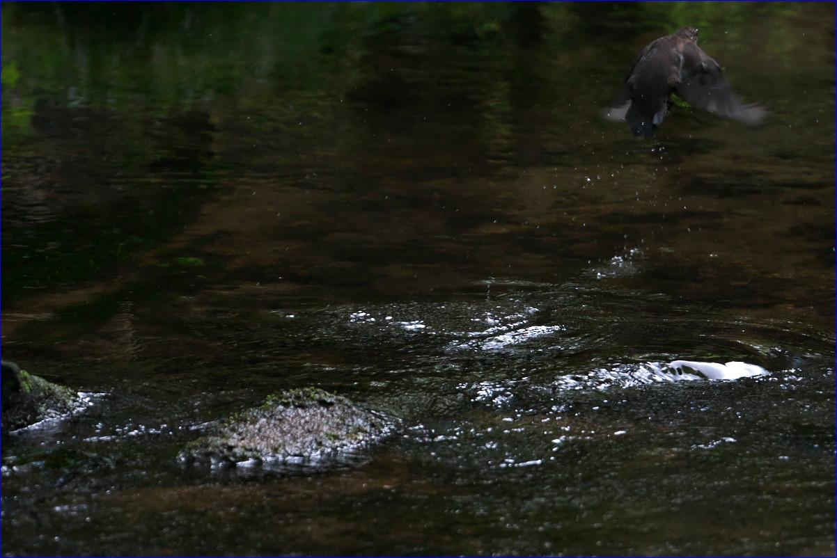 奥日光の野鳥たち・2016年8月編_d0137627_2330434.jpg