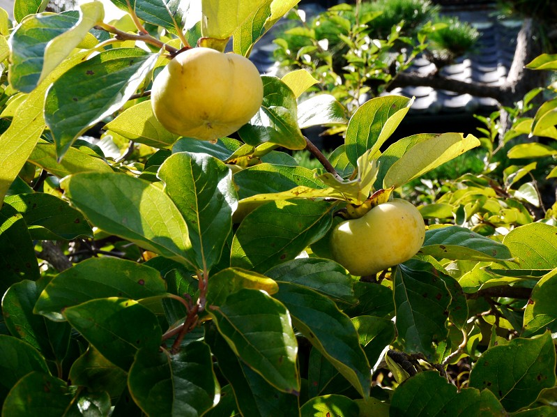 柿実る秋の里山を行く_b0093754_22425789.jpg
