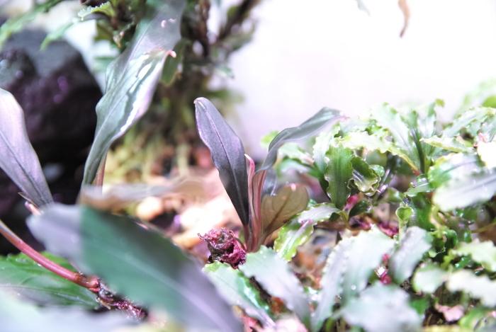"Bucephalandra sp. \""Sabah\""_a0194582_17064326.jpg"