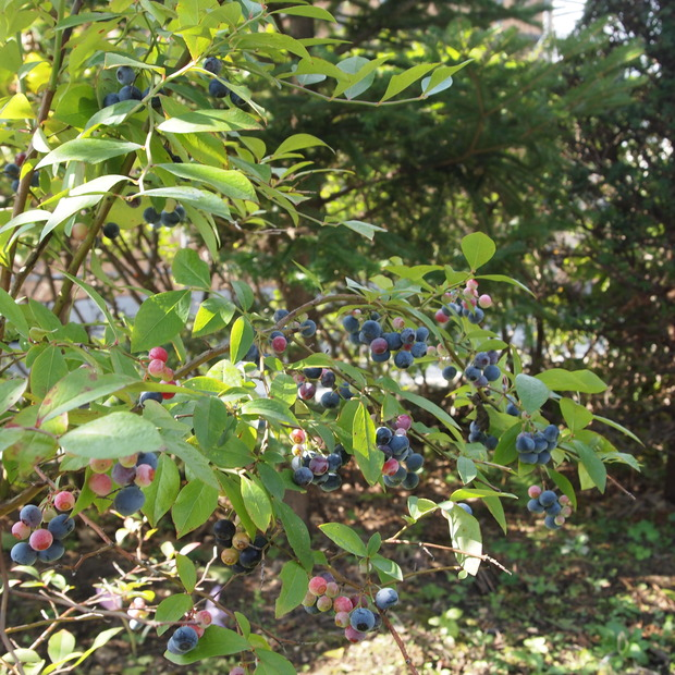 奇跡のブルーベリー、今年もこの時期に収穫です_a0292194_10424877.jpg