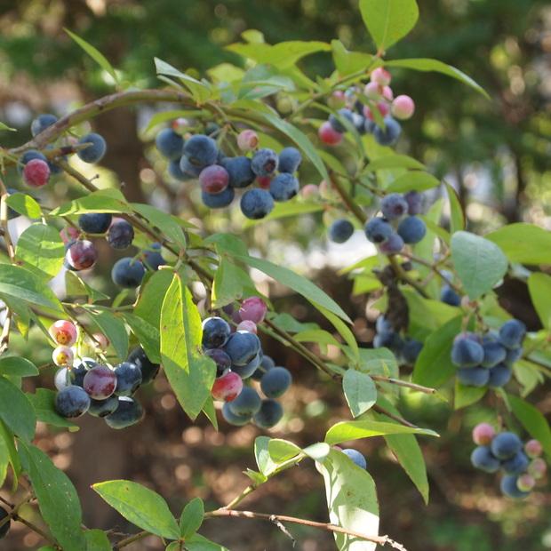 奇跡のブルーベリー、今年もこの時期に収穫です_a0292194_1044968.jpg