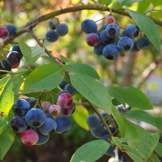 奇跡のブルーベリー、今年もこの時期に収穫です_a0292194_1051346.jpg