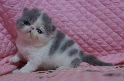 エキゾ赤ちゃん 9月12日生まれ にっちゃん子猫 ダイリュートキャリコAちゃん_e0033609_22390417.jpg