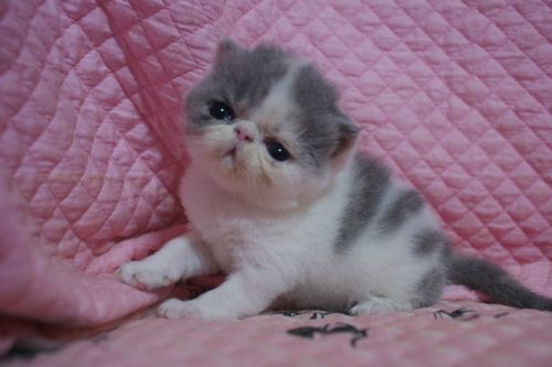 エキゾ赤ちゃん 9月12日生まれ にっちゃん子猫 ダイリュートキャリコAちゃん_e0033609_22391378.jpg