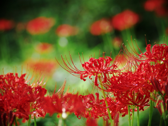 Red spider lily_e0169421_2027192.jpg