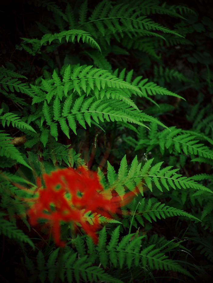 Red spider lily_e0169421_20282081.jpg