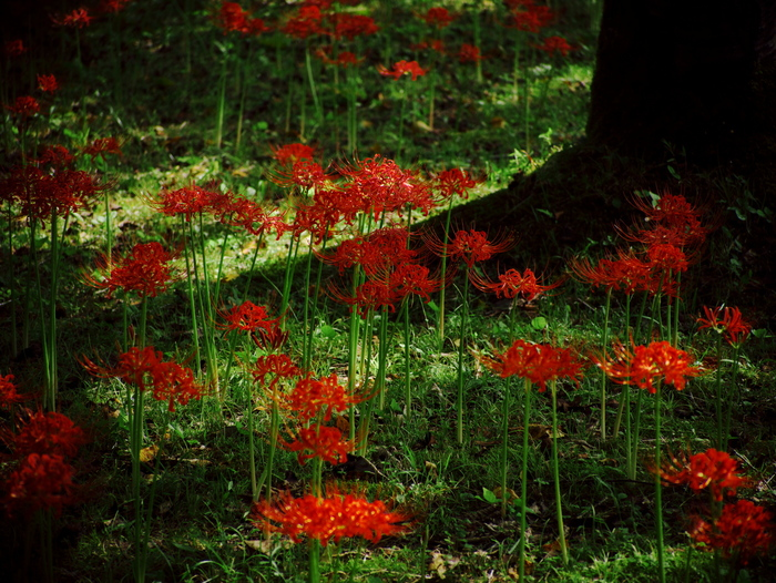 Red spider lily_e0169421_20283774.jpg