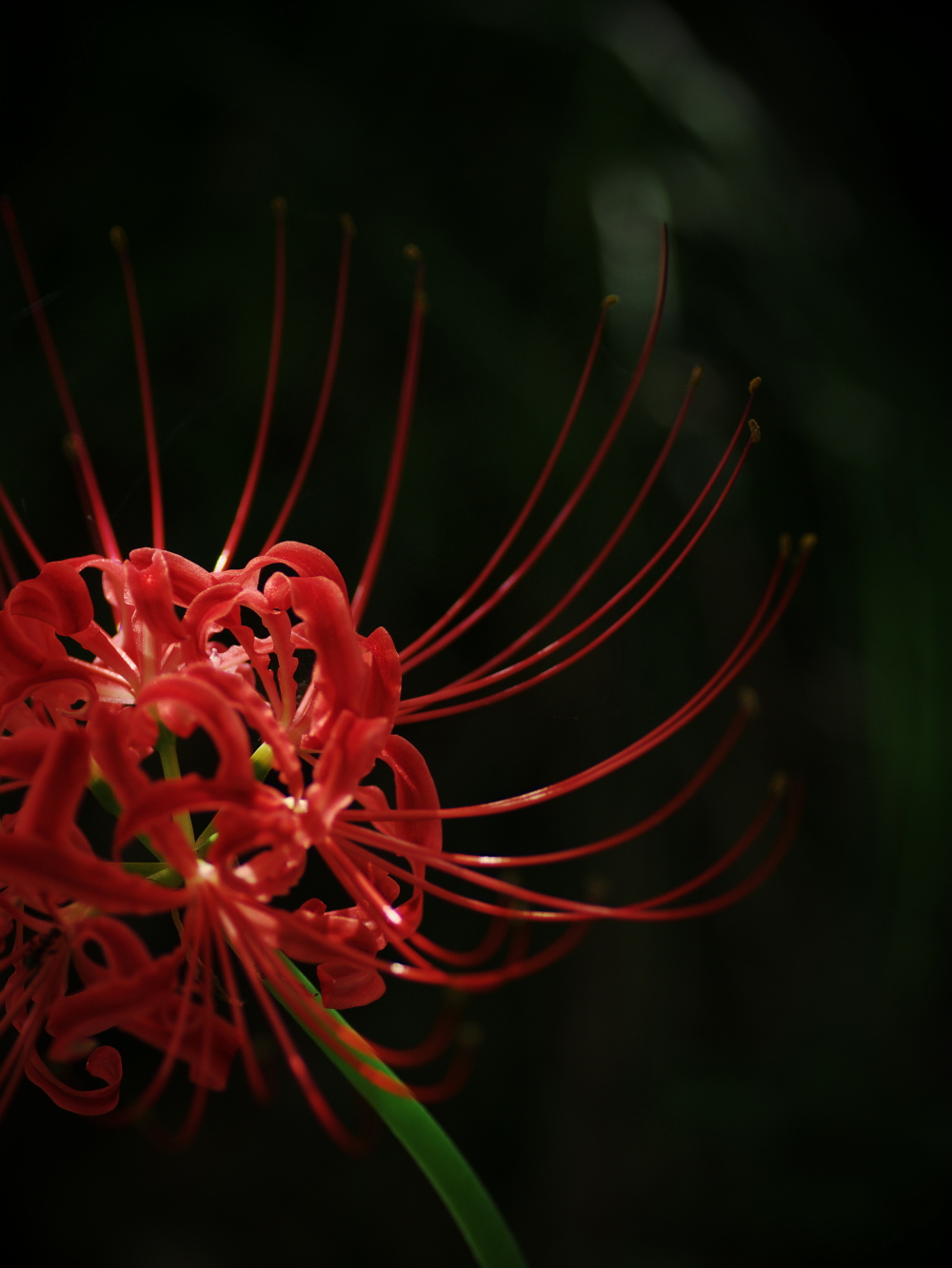 Red spider lily_e0169421_20285432.jpg