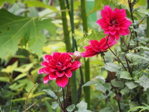 秋のお庭のマドンナはダリア_f0139333_23523269.jpg